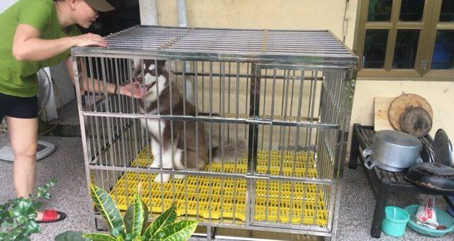 chuồng chó Alaska, Husky, Samoyed